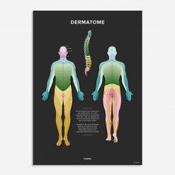 dermatome poster