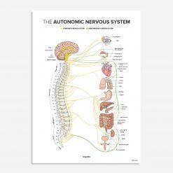 Autonomic nervous system - chiropractic poster