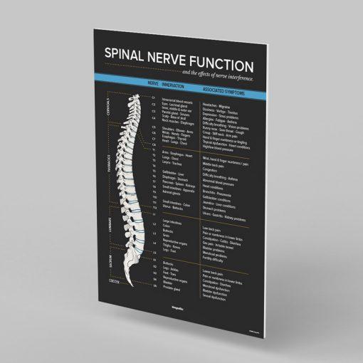 spinal nerve chart foam board