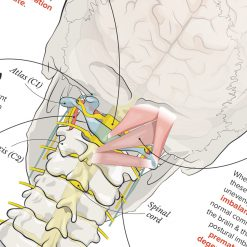 upper cervical anatomy