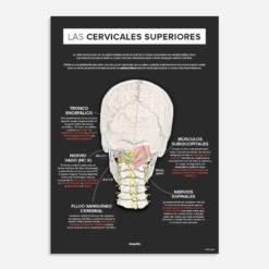 cervicales superiores