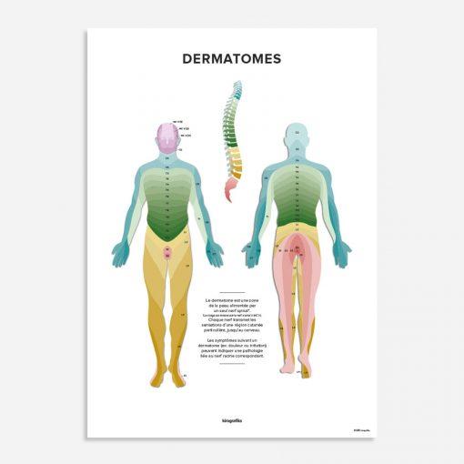 dermatomes affiche